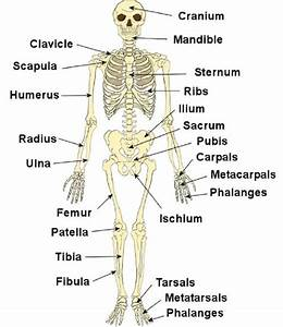 Diagrams Of The Skeletal System