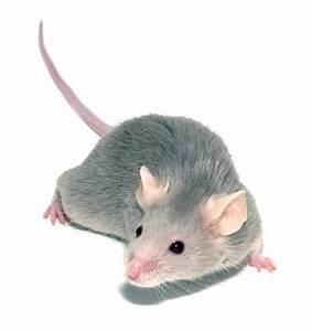Wie Fängt Man Eine Maus : die maus als haustier haustiere ~ Markanthonyermac.com Haus und Dekorationen