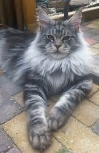 25 best ideas about maine coon cats on maine coon maine coon kittens and cat