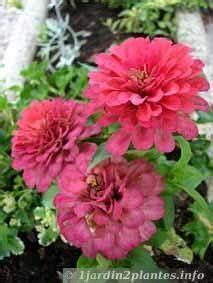 Entretien Des Agapanthes : le zinnia est une plante annuelle aux fleurs roses blanches rouge entretien culture et ~ Melissatoandfro.com Idées de Décoration