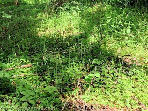 cuisiner des asperges sauvages ornithogalum pyrenaicum asperge des bois aspergette