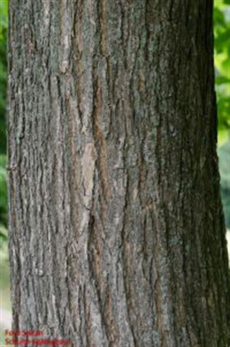 laubhoelzer bestimmung rindeborke actinidiaceae