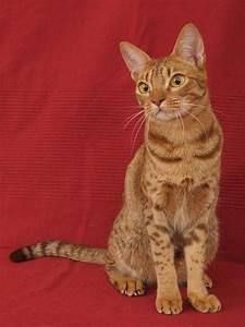 Ocicat - The Amazing Pet Wild Cat's Care, Temperament And ...