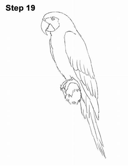 Macaw Draw Yellow Bird Drawing Gold Step