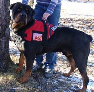 this rottweiler service dog is 180 lbs of assistance to it With rottweiler guard dog training