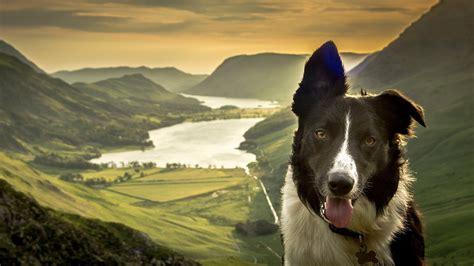 border collie dog face nature lake mountain valley