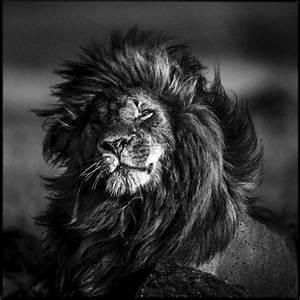 Tableau Lion Noir Et Blanc : laurent baheux habille en noir et blanc la majestueuse faune africaine lense ~ Dallasstarsshop.com Idées de Décoration