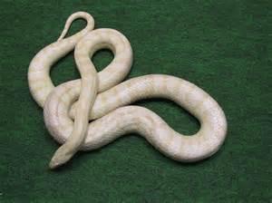 White Albino Corn Snake