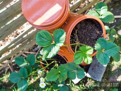erdbeeren im rohr bauanleitung erdbeerturm selber bauen in nur 4 schritten zur diy erdbeers 228 ule