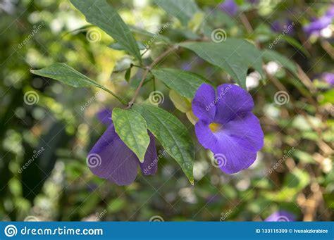 Il fiore ha la tipica forma a margherita, ma molto regolare. Pianta Rampicante Di Fioritura Perenne Erbacea Di Erecta Di Thunbergia, Fiori Porpora Viola In ...