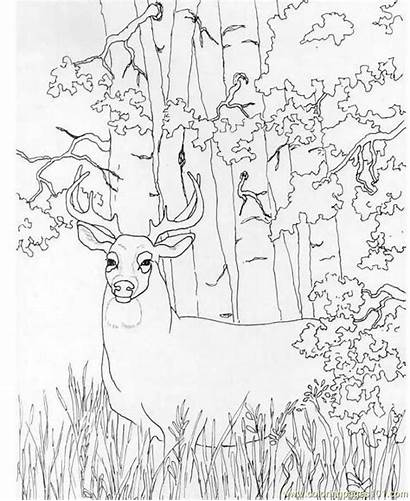 Deer Coloring Printable Whitetail Pages Hunting Realistic