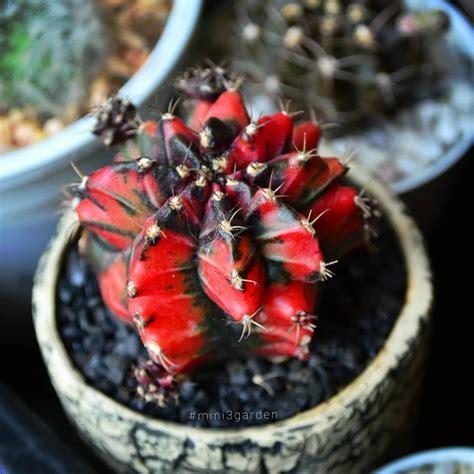 สีแดงแรงฤทธิ์ #RedPower #gymnocalycium #ยิมโน #mini3garden ...