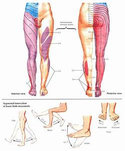 The gallery for --> Dermatomes Lower Extremity