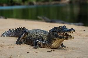 Alligator Vs Crocodile Size Difference Crocodile