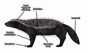 How To Draw Animals  Wolverines  Badgers  Otters And Martens