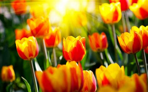 hd tulip wallpapers hd nature wallpapers