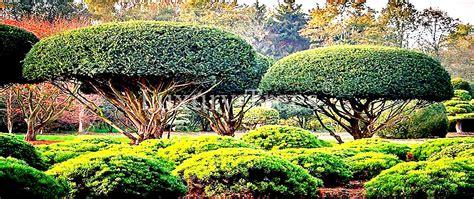 Japanischer Garten Bäume by Japanische B 228 Ume Pflanzen 187 Luxurytrees 174 214 Sterreich