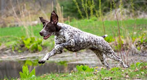 5 Things to Know About German Shorthaired Pointers - Petful