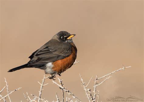 winter american robin turdus migratorius mia mcpherson
