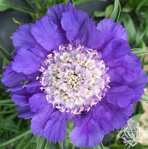 Scabiosa Caucasica Blue Camflor Inc
