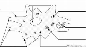 Amoeba Labeled Diagram