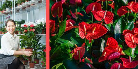 Floare Anthurium - Sfaturi de ingrijire si inmultire floare Flamingo