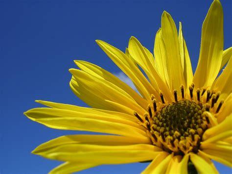 fond de bureau gratuit de bureau d une fleur jaune sur un fond ciel bleu
