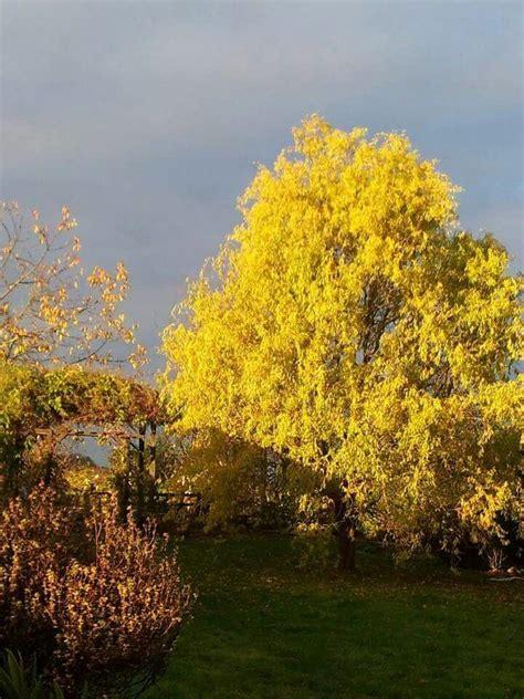 Mon saule tortueux en automne   Plants, Farmland, Outdoor