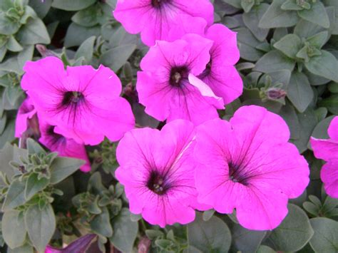 easy wave petunias violet easy wave petunia basket