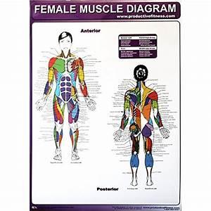 Muscle Diagram  Amazon Com