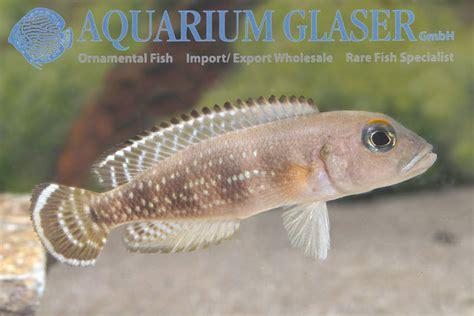 neolamprologus meeli aquarium glaser gmbh