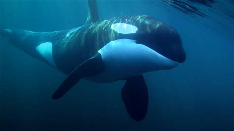Orca Wallpaper Best Of orca Whale Wallpapers Wallpaper ...