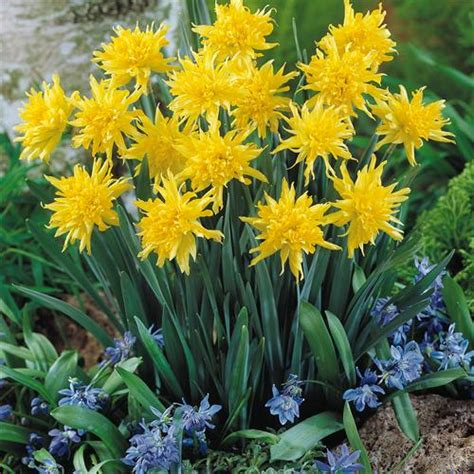 narcissus rip winkle