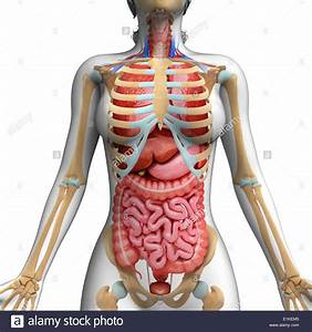 Human Digestive System And Ribcage Computer Artwork Stock