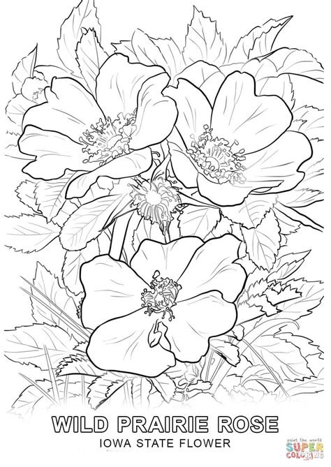 iowa state flower coloring page  printable coloring