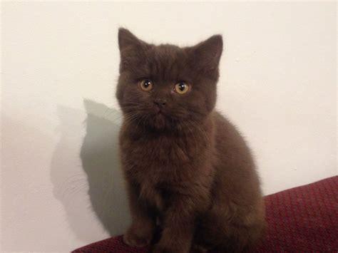 shorthair kittens for sale quality shorthair kitten for sale nantwich
