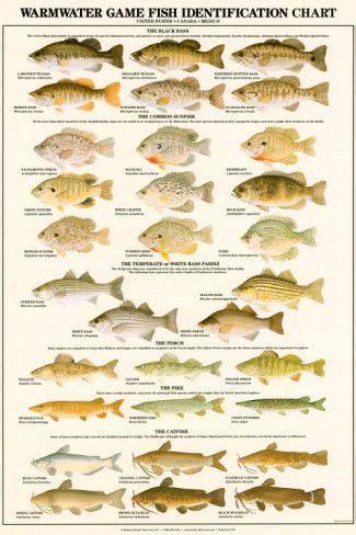 warmwater gamefish  north america print fish fish