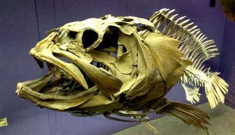 skeleton grouper skull bones fish bone found tooth armadillo australian skulls skeletal sunfish fisher ocean skeletons deep sea highly recommended