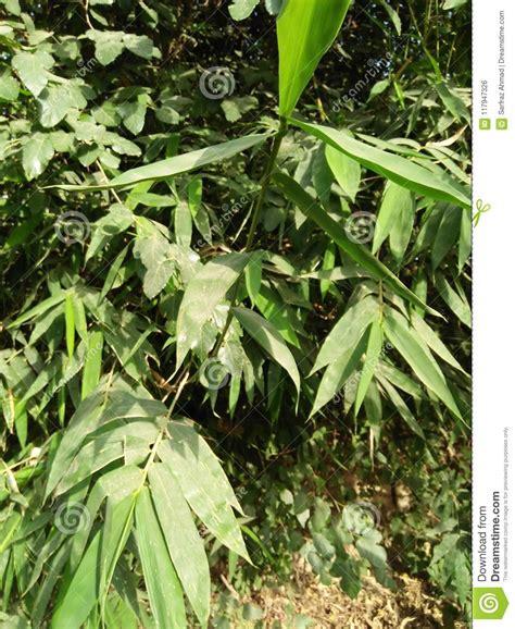 grouper bambous masse compacte genre grand est froid climate