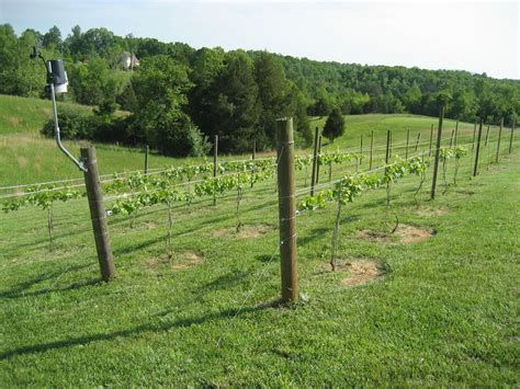 how to make a grape vine trellis 3 wire grape vine trellis pictures to pin on pinterest pinsdaddy