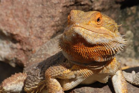 what kind of heat l for bearded dragon finding the perfect reptile for you entirelypets