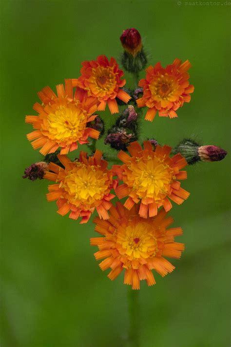 habichtskraut orangerotes hieracium aurantiacum samen