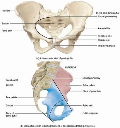 Tailbone Anatomy Coccyx Pain Pelvis Female Bone