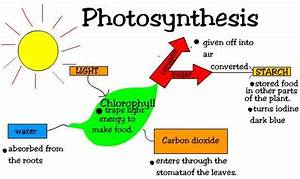 Two Stages of Photosynthesis | eHow