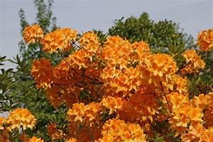 Erdbeeren Düngen Mit Blaukorn : d nger f r rhododendron die vier wichtigsten im berblick ~ Frokenaadalensverden.com Haus und Dekorationen