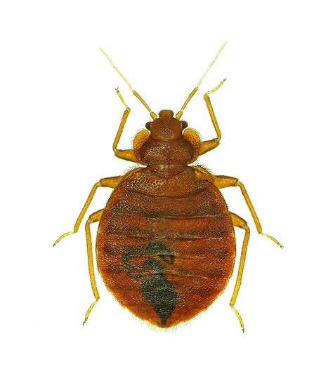 Bed Bugs by Bed Bug Products Professional Bed Bug