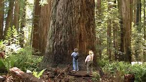Magnificent Ancient Redwood Forest - near Crescent City ...