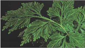 Selaginella Spike Mosses Structure And Form