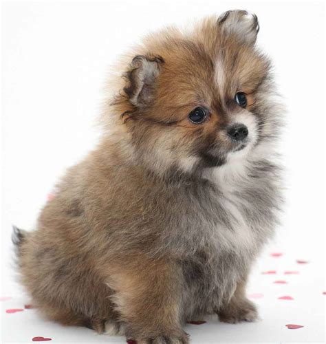 Names of Small Dog Breeds Puppies