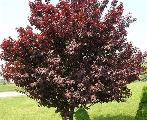 cherry tree with purple leaves house canvas august 2012